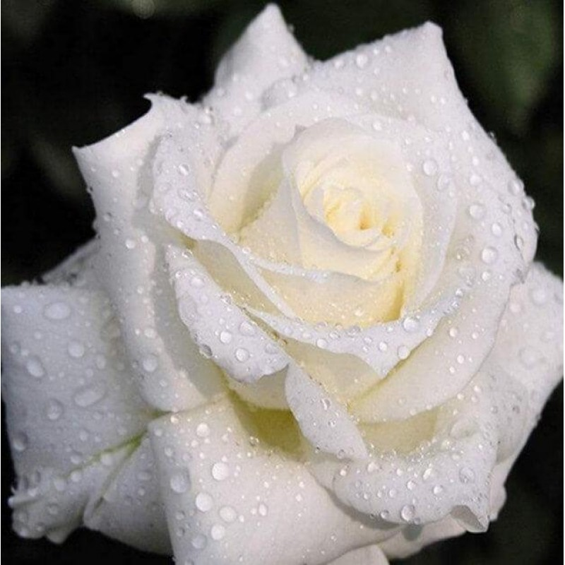 White Rose with Dew ...
