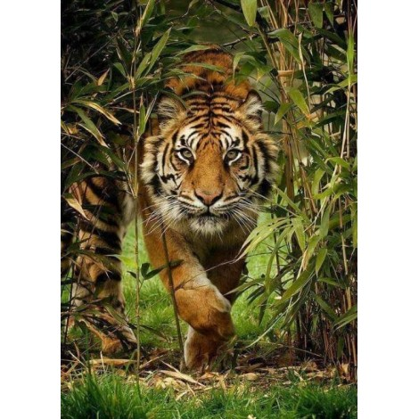 Tiger Running Out of Forest