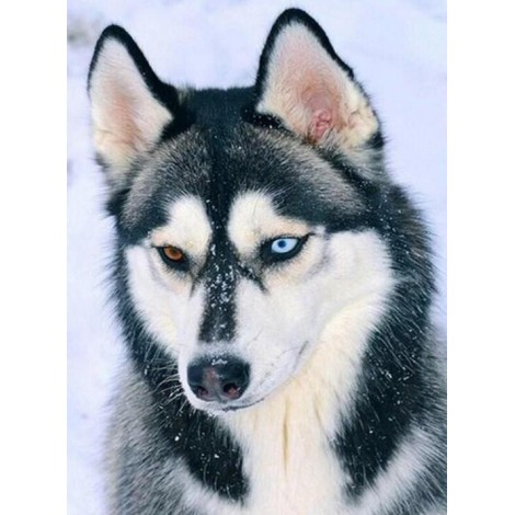 Stunning Husky with Different Colored Eyes