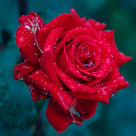 Gorgeous Rose with Dew Drops