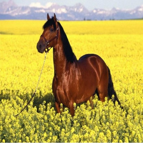 Brown Horse in Yellow Fields