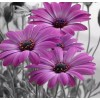 Purple Gerber Daisies Painting Kit