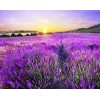 Lavender Fields & Sunset