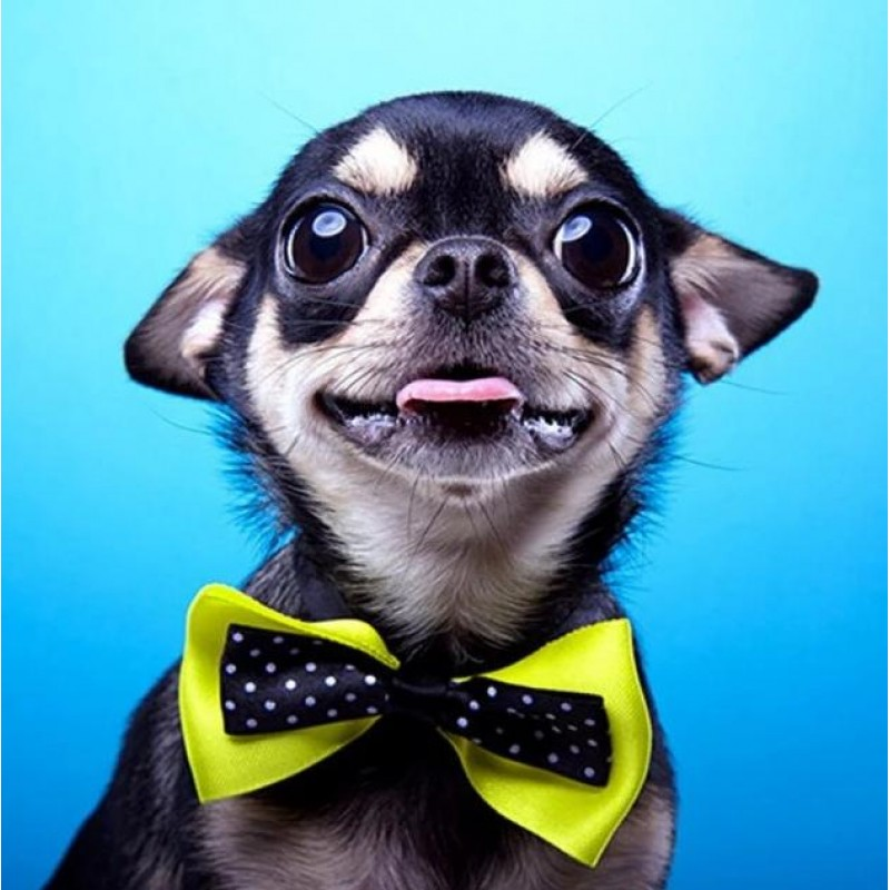 Cutest Chihuahua wit...