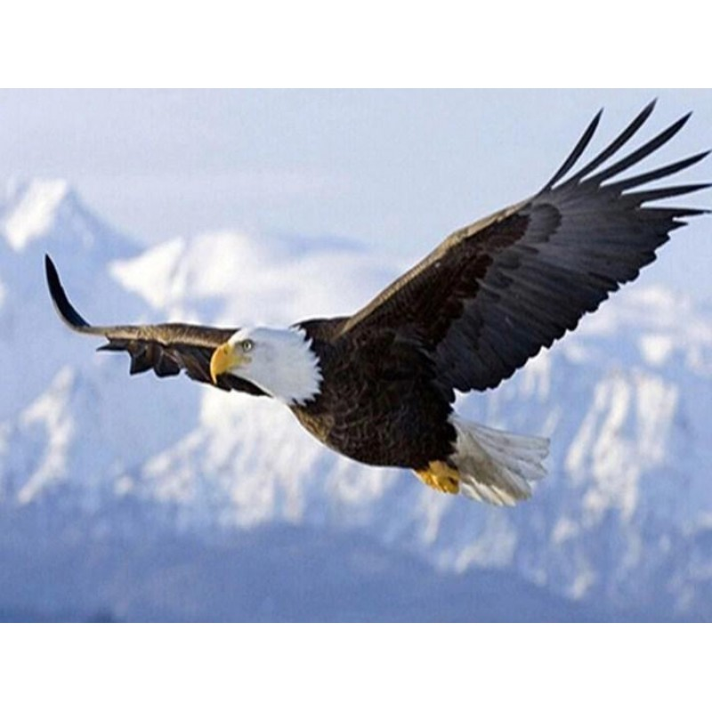 Eagle Flying on Snow...