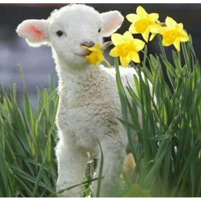 Cute Sheep Sniffing ...