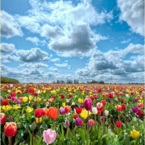 Cloudy Sky & Colorful Tulips